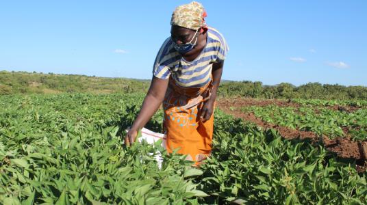 Woman farmer wearing a face mask works in her potato fields